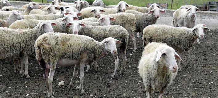 Πρόβατα, Φωτογραφία: eurokinissi-Βασίλης Παπαδόπουλο