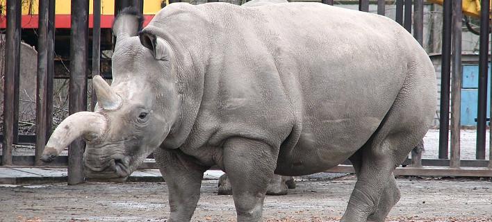 Ελπίδες για τη διάσωση του λευκού ρινόκερου (Φωτογραφία: ΑΠΕ)