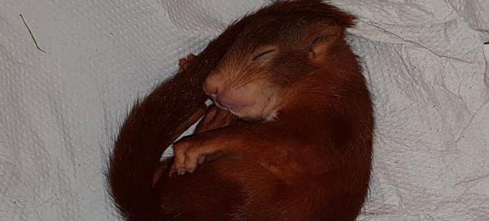 Η αστυνομία ονόμασε Καρλ-Φρίντριχ τον σκίουρο (Φωτογραφία: AΠΕ/  EPA/KARLSRUHE POLICE)