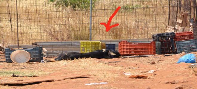 Σοκ: αλυσόδεσε τον σκύλο του και τον άφησε να πεθάνει απο τη ζέστη