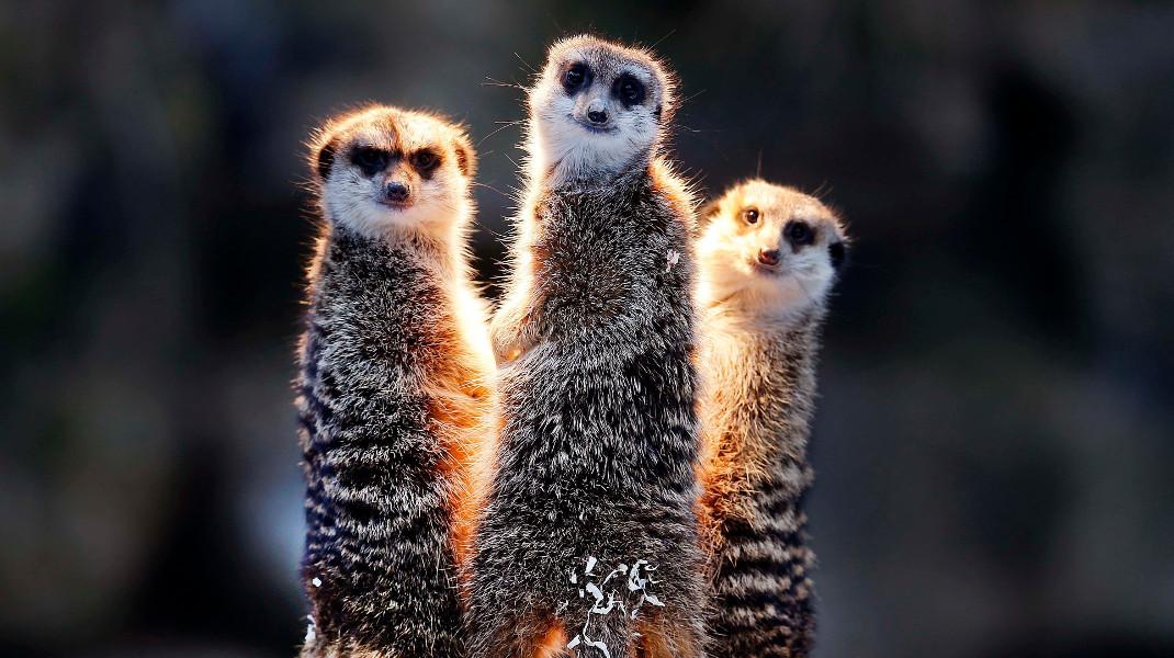 Σουρικάτες στον ζωολογικό κήπο της Φρανκφούρτης ζεσταίνονται με θερμαινόμενες λάμπες - Φωτογραφία: AP Photo/Michael Probst