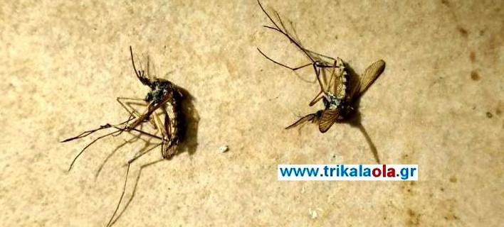 Επιθετικά μεγάλα κουνούπια εμφανίστηκαν στα Τρίκαλα