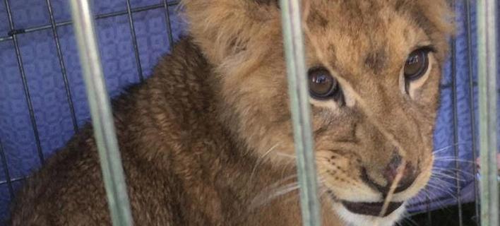 Εγκατέλειψαν λιονταράκι σε κλουβί/ Φωτογραφία: ΑΠΕ/ EPA- PETER KLAVER
