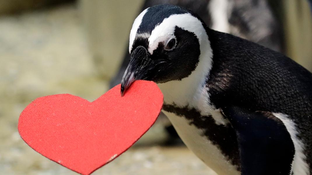 Πιγκουίνος στο Σαν Φρανσίσκο «γιορτάζει» την ημέρα του Αγίου Βαλεντίνου -Φωτογραφία: AP Photo/Marcio Jose Sanchez