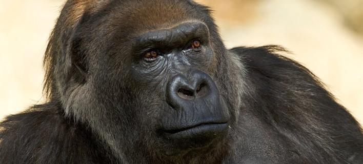 Ενας από τους γηραιότερους γορίλες στον κόσμο πέθανε στο Σαν Ντιέγκο (Φωτογραφία αρχείου: AP/ San Diego Zoo Safari Park/ Ken Bohn)