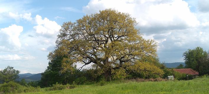 Βελανιδιά, φωτογραφία: treeoftheyear.org