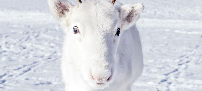 Σπάνιος λευκός τάρανδος. Φωτογραφία: Instagram