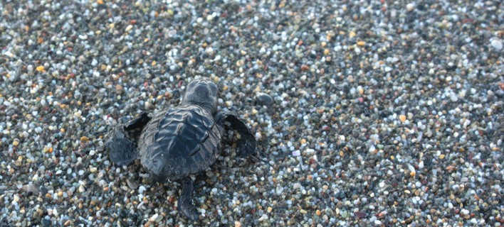 θαλάσσια χελώνα/Φωτογραφία: IntimeNews