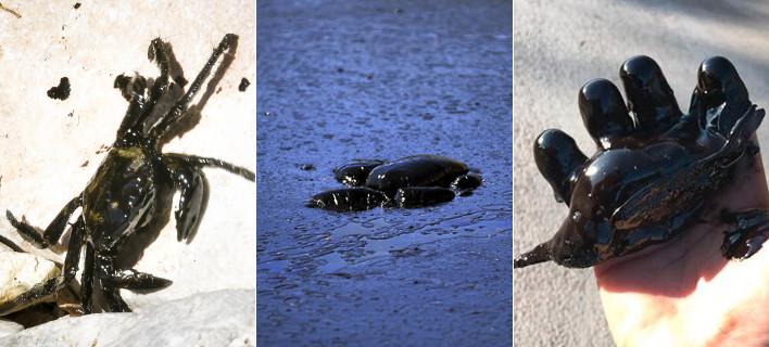 Μαύρος θάνατος στον Σαρωνικό: Ζώα πνιγμένα στην πίσσα, κολλημένα στο μαζούτ -Εικόνες απόγνωσης