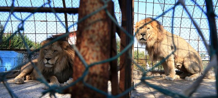 λιοντάρι σε ζωολογικό κήπο/Φωτογραφία: AP