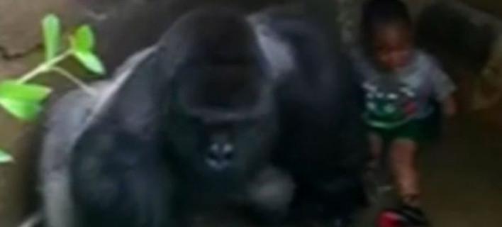 Νέο βίντεο δείχνει ότι ο γορίλας προστάτευε το 4χρονο παιδί - Αλλά τον σκότωσαν