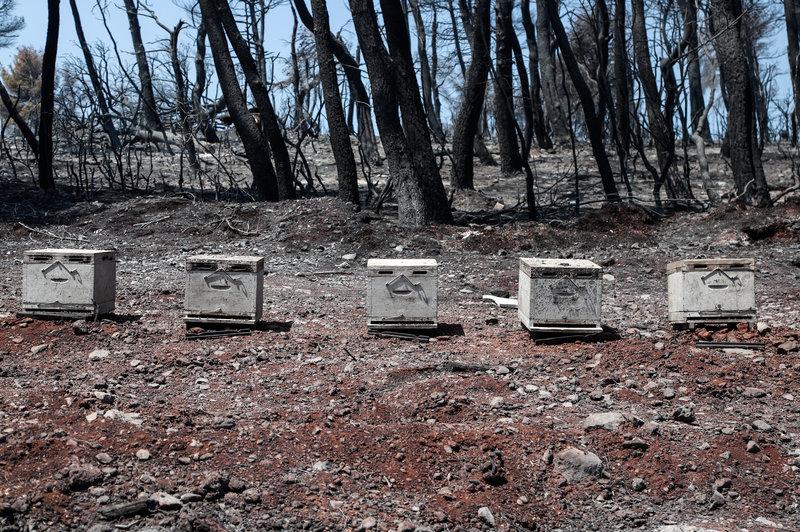 Μελίσσια στο καμένο δάσος στην Εύβοια
