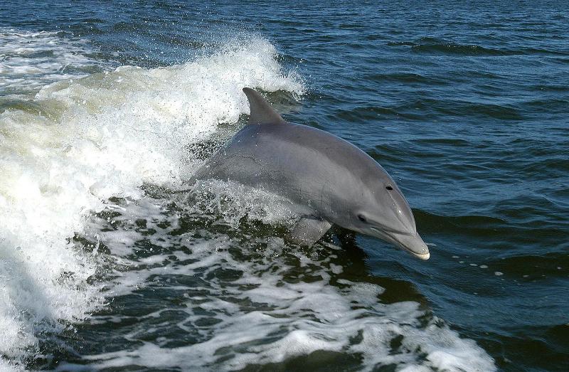 Ρινοδέλφινο κολυμπά κοντά στις εγκαταστάσεις του Διαστημικού Κέντρου Κένεντι στη Φλόριντα των ΗΠΑ.