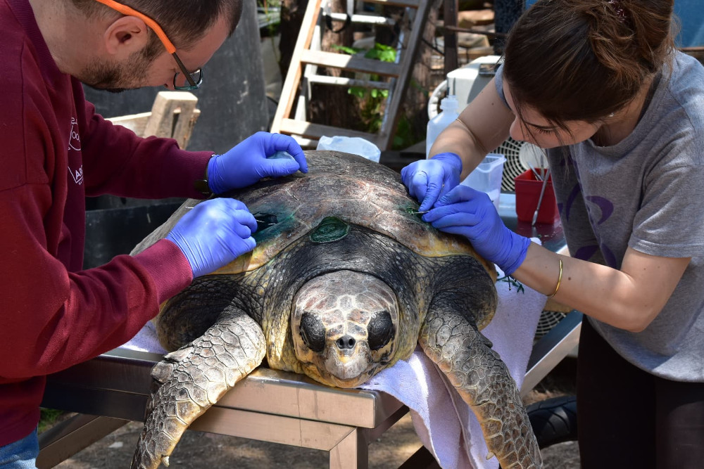 Όλο και περισσότερες τραυματισμένες θαλάσσιες χελώνες εντοπίζονται το τελευταίο διάστημα