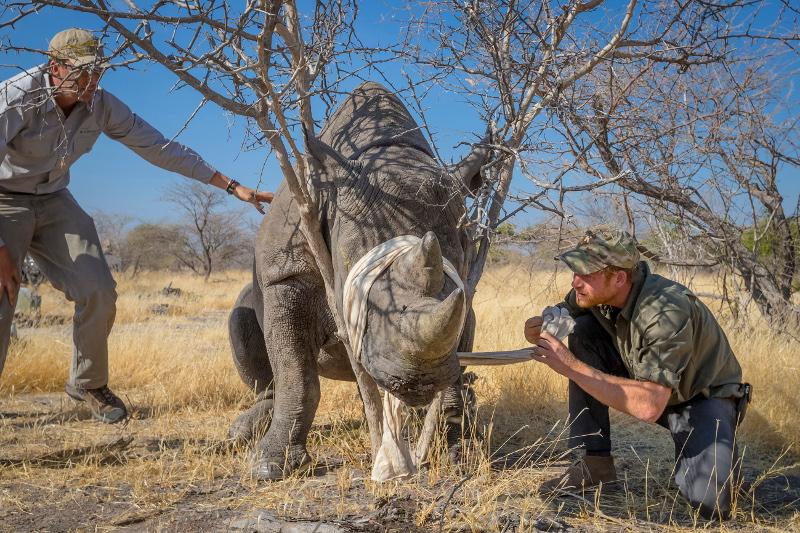 Ο πρίγκιπας Χάρι στην Μποτσουάνα, βοηθώντας έναν πληγωμένο ρινόκερο