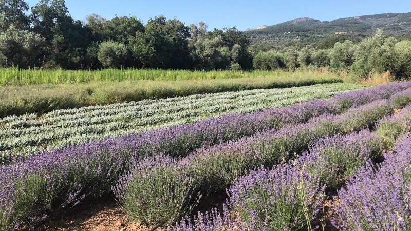 Ο αγρός με ποικιλία αρωματικών φυτών