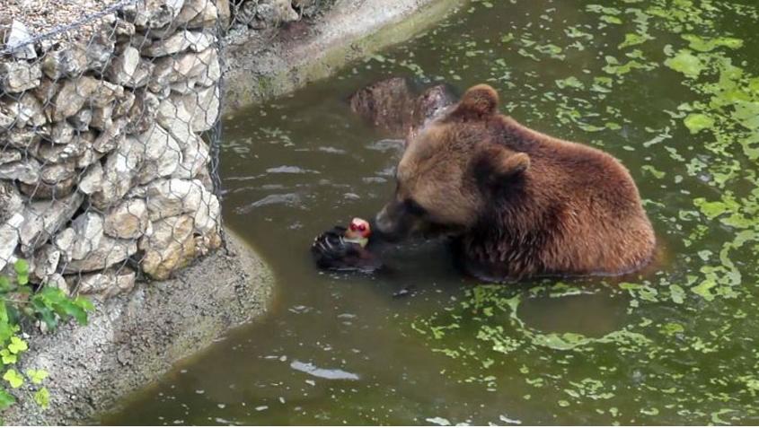 αρκούδα παγωτο