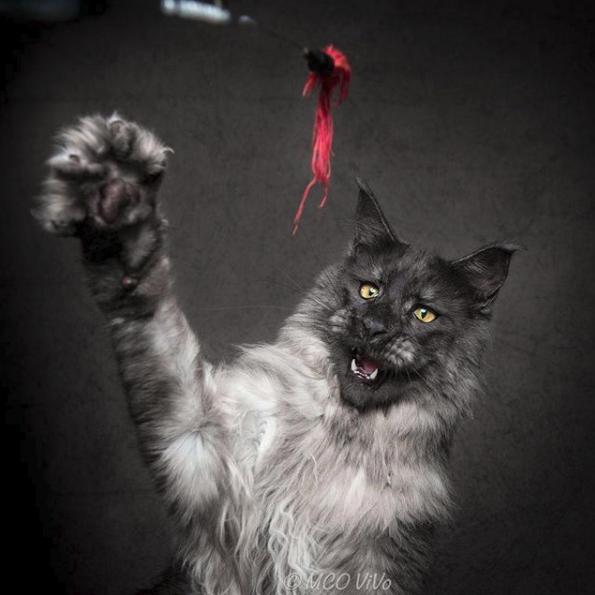 Γατα παίζει με ένα κορδόνι