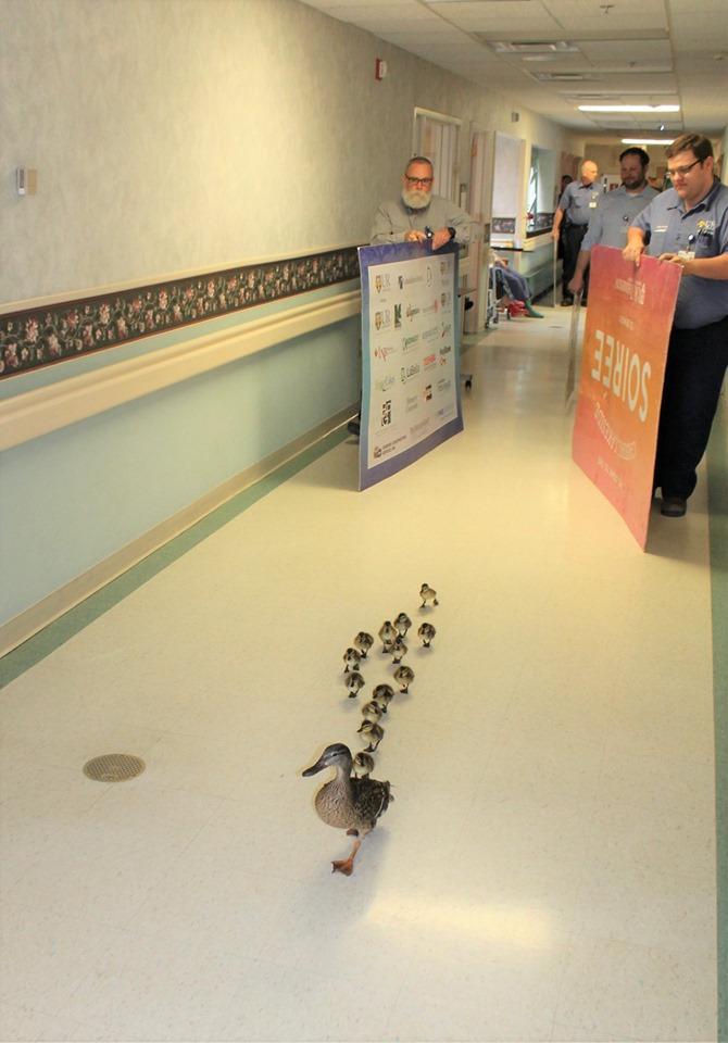 Η πάπια κάθε χρόνο τέτοια εποχή περνάει μέσα από το νοσοκομείο ανενόχλητοι με τα παπάκια της