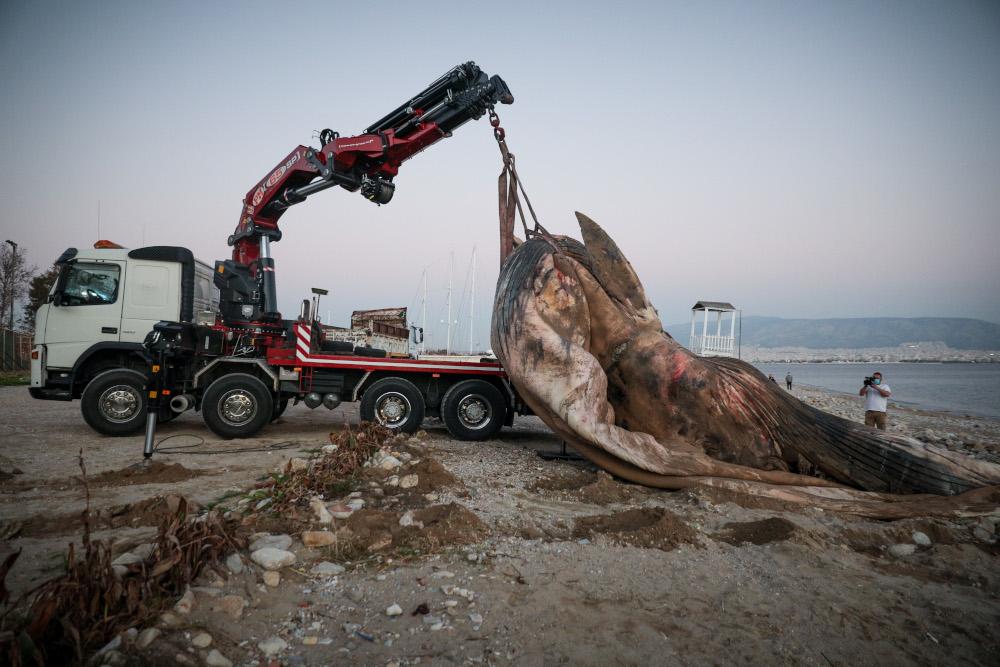 Καρέ καρέ η επιχείρηση ανάσυρσης της νεκρής φάλαινας που ξεβράστηκε στον Πειραιά [εικόνες & βίντεο]