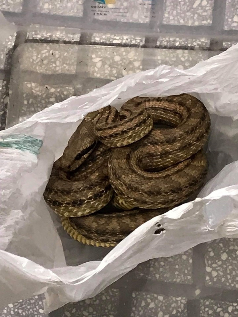 Φίδι μέσα σε σακούλα