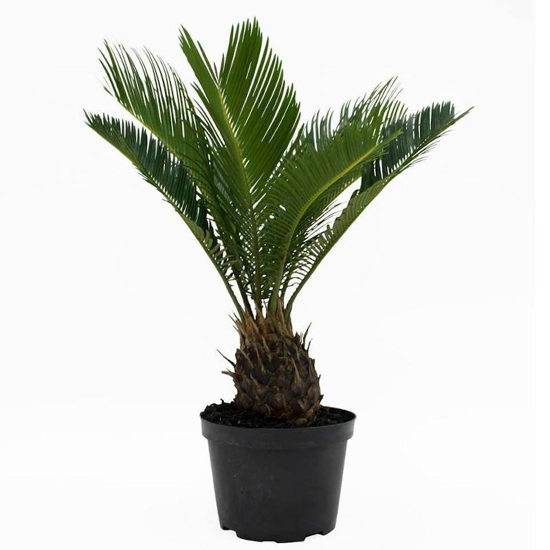 Το φυτό με την ονομασία Κύκας η περιεστραμμένη, είναι δηλητηριώδες όταν καταναλωθεί