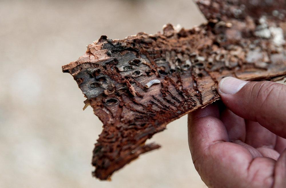 Το έντομο που τρώει τον φλοιό των δέντρων στο Σέιχ Σου