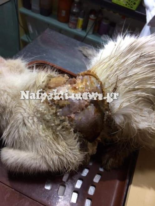 Πληγή ζώου τρίχωμα γάτας στη Ναύπακτο