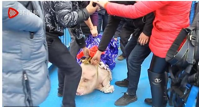 Οι διοργανωτές του σόου έντυσαν το γουρούνι με μία μπλε κάπα/Φωτογραφία: YouTube/ Whatsapp AF
