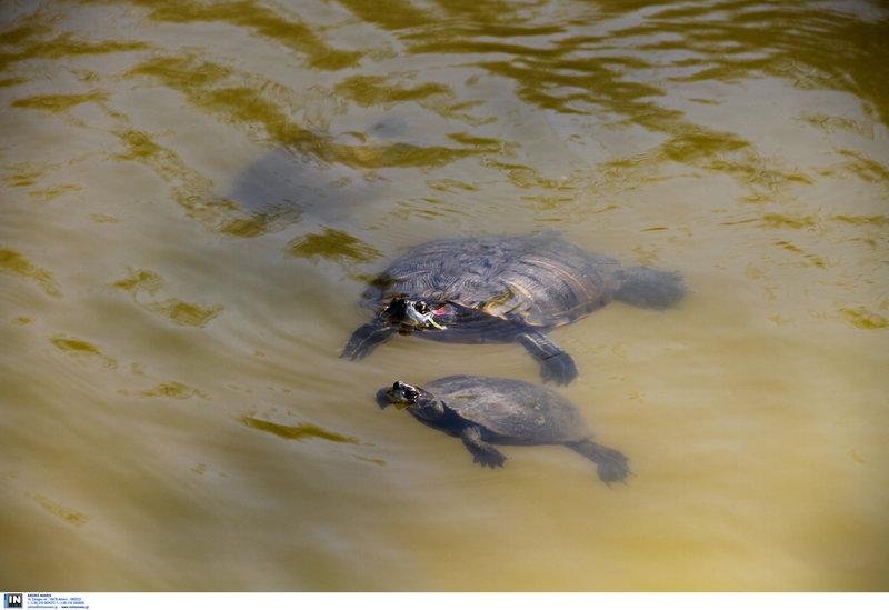 Θαλάσσιες χελώνες στην Ικαρία