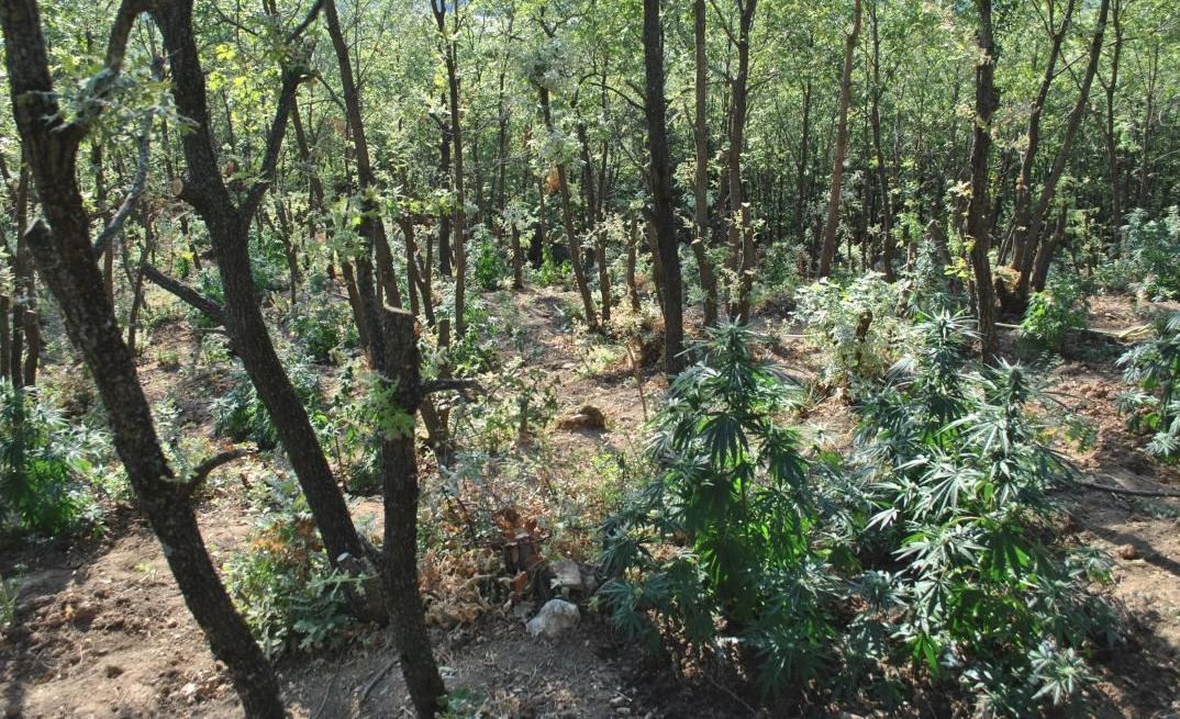 Η δασική έκταση στην οποία εντοπίστηκαν τα δενδρύλλια κάνναβης