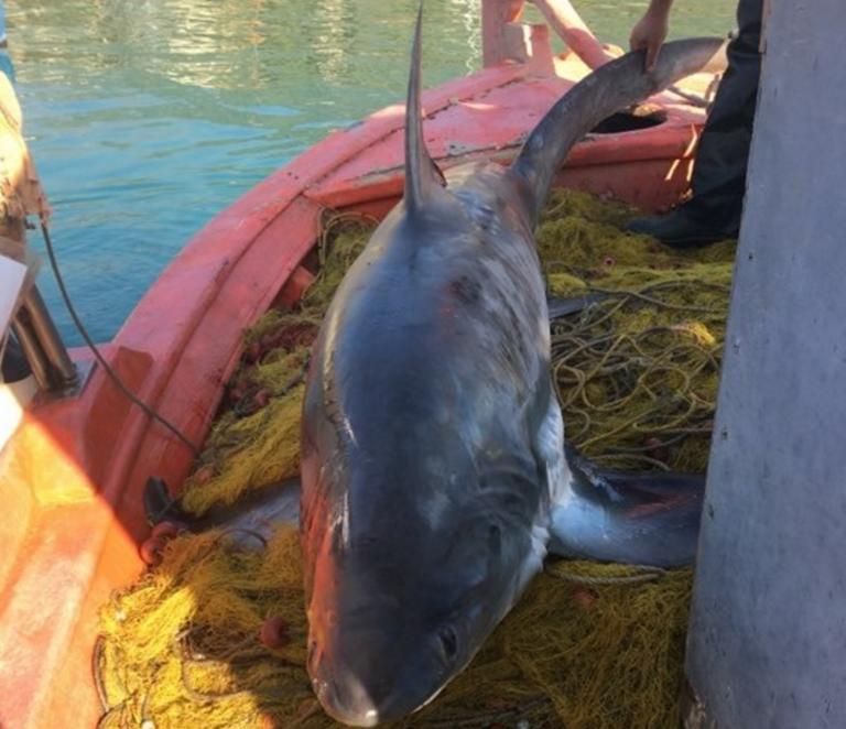 Βόλος: Eπιασαν καρχαρία τεσσάρων μέτρων και 100 κιλών -Εντυπωσιακή ...