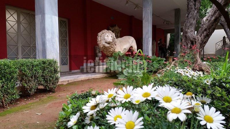 Αγαμα λιονταριού μέσα στον κήπο του Αρχαιολογικού Μουσείου