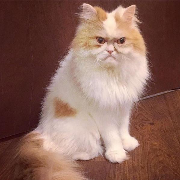Πρόκειται για μια γάτα Περσίας με ένα πολύ περίεργο βλέμμα, που σε πολλούς θυμίζει ηλικιωμένο άνδρα