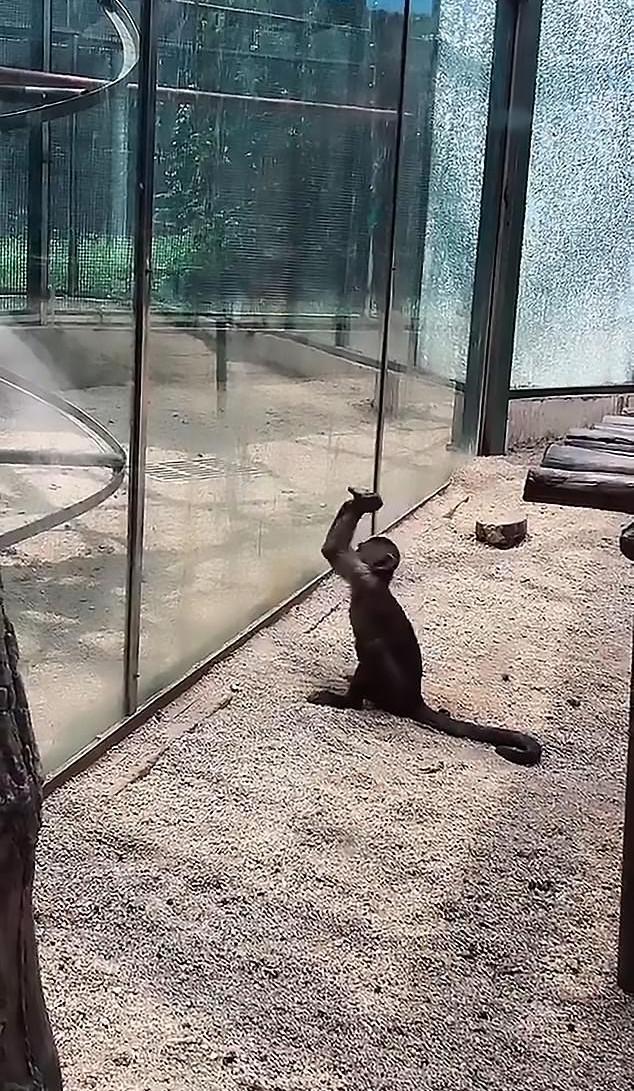 Η έξυπνη μαϊμού πήρε μια πέτρα και αφού προσπάθησε να την λειάνει, άρχισε να χτυπά το γυάλινο κλουβί της