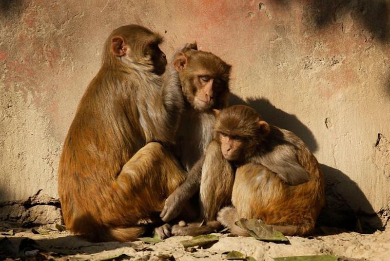 Mαϊμούδες λιάζονται στον περιβάλλοντα χώρο του Ταζ Μαχάλ