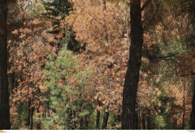 Πεύκα νεκρώνονται στο δάσος του Σέιχ Σού