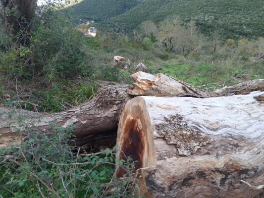 Η νόσος των πλατάνων εμφανίστηκε πριν από περίπου 15 χρόνια στη Δυτική Πελοπόννησο και μέχρι σήμερα όπως όλα δείχνουν, κανένας δεν μπορεί να τον τιθασεύσει.