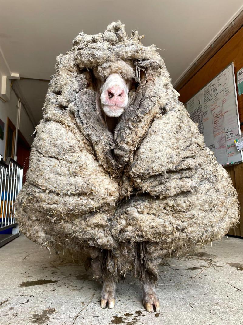Το πρόβατο είχε τουλάχιστον 5 χρόνια να κουρευτεί