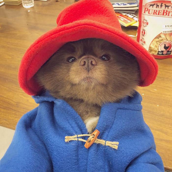 Το σκυλάκι ντυμένο ως το διάσημο αρκουδάκι Πάντινγκτον