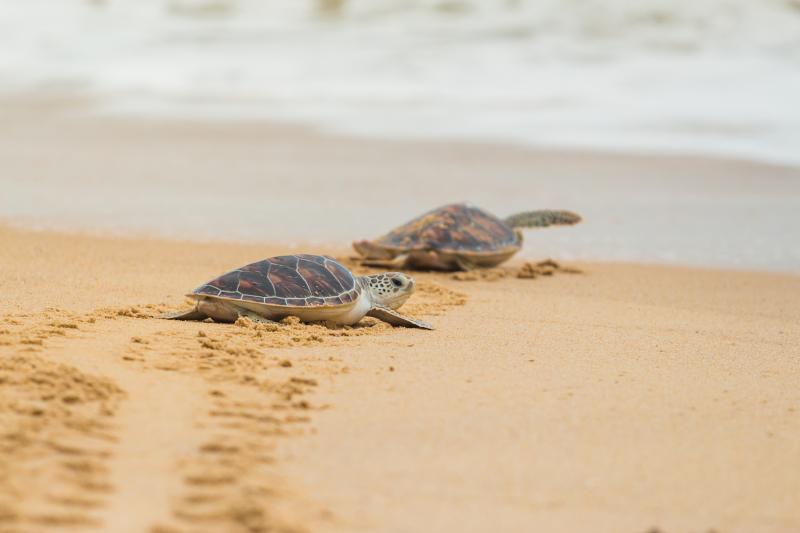 δύο χελώνες στην παραλία