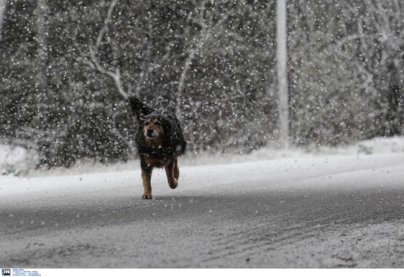 Ενας σκύλος τρέχει αμέριμνος στο χιόνι στην Πεντέλη