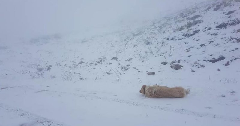Ενας σκύλος έχει ξαπλώσει και παίζει στο χιόνι στο χωριό Συρράκο στα Τζουμέρκα