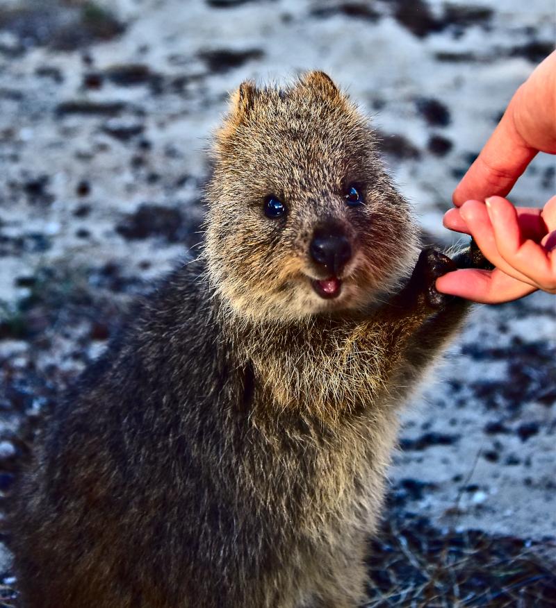 ανθρώπινο χέρι κρατά χέρια ζώου κουόκα
