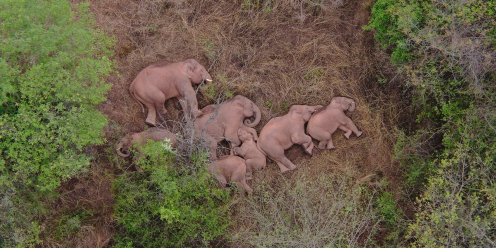 Κίνα: Eγινε viral ο ύπνος ελεφάντων που έχουν διανύσει 500 χιλιόμετρα, σπέρνοντας την… καταστροφή [βίντεο]   ΚΟΣΜΟΣ