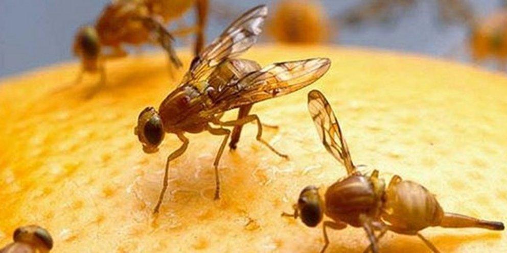 Η εξελικτική γενετική μεγαλουργεί: Φρουτόμυγες που μπορούν να μετρούν | ΤΕΧΝΟΛΟΓΙΑ | iefimerida.gr